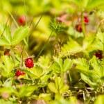 Wild strawberry — Stock Photo #48289047