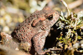 Common toad — Stock Photo