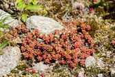 Sedum album or white stonecrops — Stock Photo