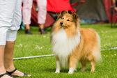 Shetland sheepdog — Photo