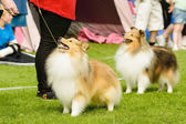 Shetland sheepdogs — Stock Photo