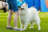 Samojed pes — Stock fotografie