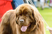 Big brown dog — Stock Photo
