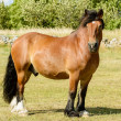 North Swedish Horse — Stock Photo #50067385