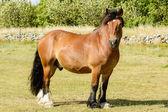 スウェーデン北部の馬 — ストック写真