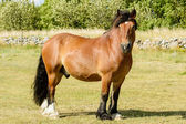 North Swedish Horse — Stock Photo