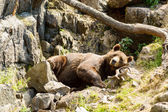 Brown bear, Ursus arctos — Stock Photo