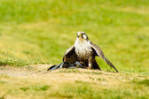 Laggar Falcon (Falco jugger) — Stock Photo