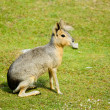 Dolichotis patagonum, Patagonian mara — Stock Photo #50194737