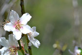 Almond flower — Stock Photo