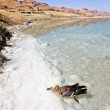Lifeless bird in the water of the dead sea in Israel — Stock Photo