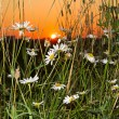 Daisies in a field at sunset — Stock Photo