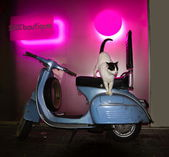 The cat sits on Vintage Scooter amid the pink sex shop — Foto de Stock