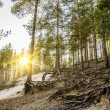 Sunset in the forest.the Sun peeks out from behind the pine root — Stock Photo