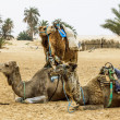 Camels in the Sahara desert, Tunisia, Africa — Stock Photo