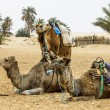 Stock Photo: Camels in the Sahara desert, Tunisia, Africa