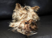 The Yorkshire Terrier is on a leather sofa — Stock Photo