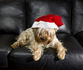 Yorkshire Terrier in Santa Hat rests on a leather sof — Stock Photo
