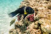 Kleurrijke vissen zwemmen op een koraal rif in de rode zee — Stockfoto