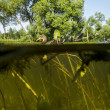 Duck swims in the Lake View under water on the algae and the wat — Stock Photo #49958413