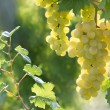 Stock Photo: Sunny grapes
