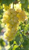 Sunny grapes — Photo