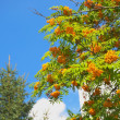 Rowan, sky, fir tree — Stock Photo