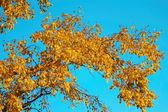 Poplar in the light of the sunset — Stock Photo