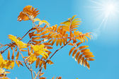 Rowan leaves in the morning — Stock Photo