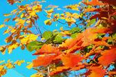 Drie oaks — Stockfoto