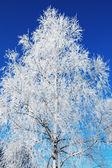 Very white birch — Foto Stock