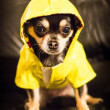 Chihuahua wearing a raincoat — Stock Photo