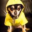 Stock Photo: Chihuahuwearing raincoat