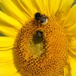 Stock Photo: Macro of sunflower and bumblebees