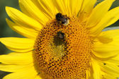Macro of sunflower and bumblebees — Stock Photo