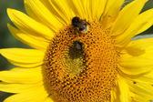 Macro of sunflower and bumblebees — Stock Photo