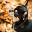 Sitting Chihuahua in the forrest — Stock fotografie