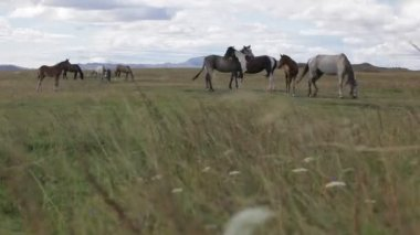 Horses graze at the foot of mountains — Stock Video