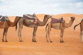 Caravan camels — Stock Photo
