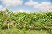 Viñedo de Toscana — Foto de Stock