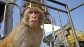 猿猿の寺で — ストック写真