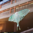 图库照片: Reflection of Actias selene ningpoanFelder
