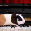 Guinea pig walk on the piano, play talent on music — Stock Photo