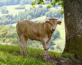 Veal in the pastures — Stock Photo