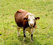 Cow in the mountain pastures — Stock Photo