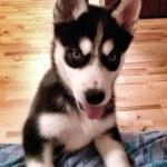 Huskies — Stock Photo #29521509