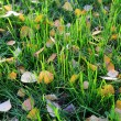 Green grass with yellow autumn leaves of birch — Stock Photo