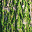 Fluffy green moss on the bark of oak textured 001 — Stock Photo #37028679