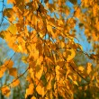 Yellow autumn birch leaves on thin branches, illuminated by the sun, on a background of blue sky 002 — Stock Photo