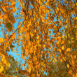 Yellow autumn birch leaves on thin branches, illuminated by the sun, on a background of blue sky 001 — Stock Photo